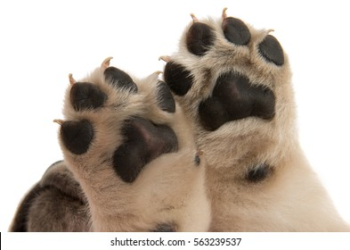 puppy paw isolated on white background