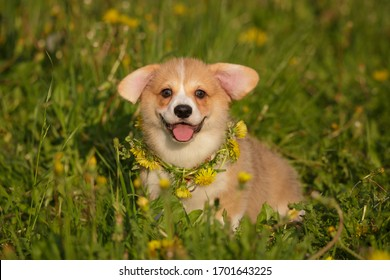 puppy pembroke welsh corgi outdoor in dandelion collar cute and funny