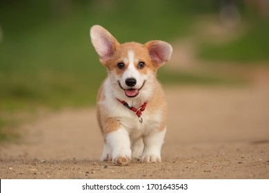 puppy pembroke welsh corgi outdoor cute and funny