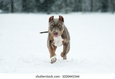 Puppy Pitbull American Bully - Shutterstock ID 1020441544