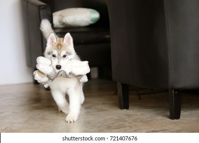 Puppy Playing With Doll In House, Siberian Husky Puppy Hold Doll In Mouth  In Living