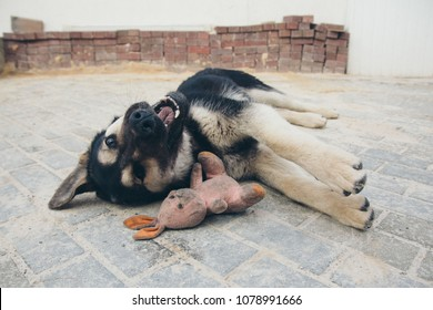 Puppy playing with a rabbit on the floor. Dog breed shepherd dog lying with his mouth open on a brick floor, lying next to a dirty pink plush Bunny