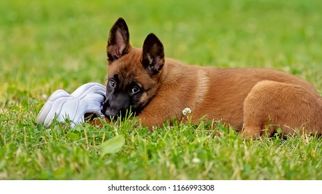 Puppy playing with a shoe