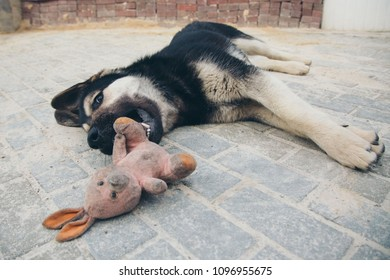 Puppy plays with a rabbit on the floor. Dog breed shepherd holds the teeth in a dirty pink stuffed Rabbit