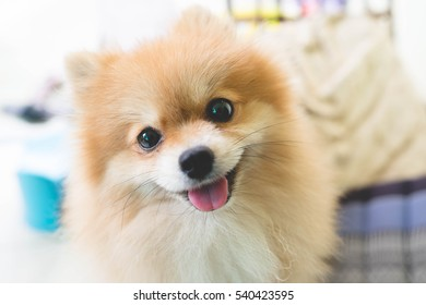 puppy pomeranian dog cute pets in home