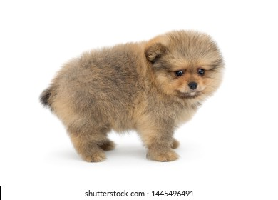 Puppy Pomeranian side view, isolated on white background