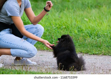 Puppy Pomeranian Spitz listens to the owner and performs functions on the command. Obedient and intelligent dog.