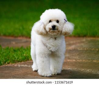 Puppy poodle in green garden - happy dog in the garden - Pet