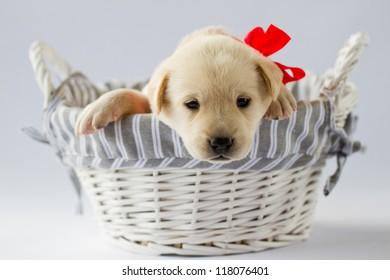 Puppy - Portrait of cute labrador puppy in basket