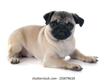 puppy pug in front of white background