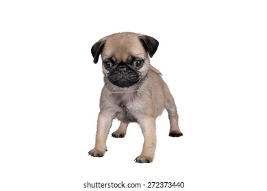 puppy pug on white background