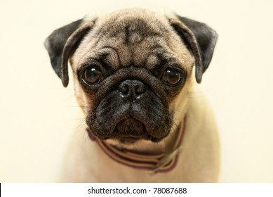 puppy pug portrait