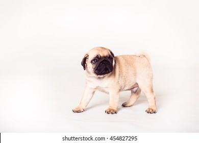 Puppy pug standing at the white background. Image isolated.