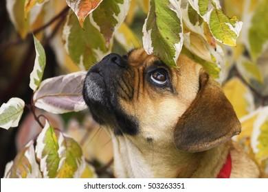 Puppy Puggle Dog Beagle Mops Designer Dog Portrait in autumn