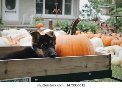 Puppy and a pumpkin in a wagon