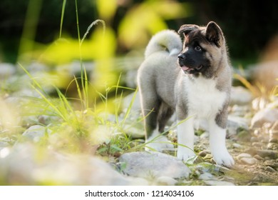 puppy purebred American Akita breed dog walks in the forest