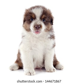 puppy purebred australian shepherd  in front of white background