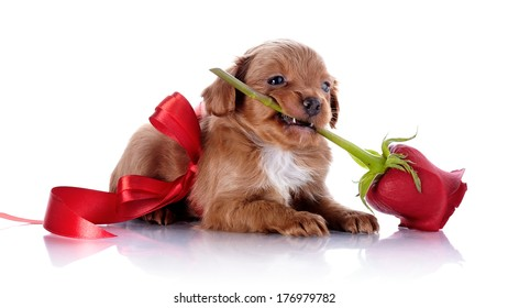 Puppy with a red bow and a rose. Puppy of a decorative doggie. Decorative dog. Puppy of the Petersburg orchid on a white background