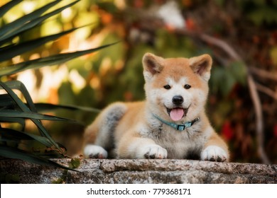 puppy of red New Year's Akita dogs lies on stairs in nature at sunlight