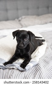 Puppy Relaxing on Human Bed
