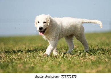 """puppy retriever """"withe diamond"""" in summer on a meadow"""