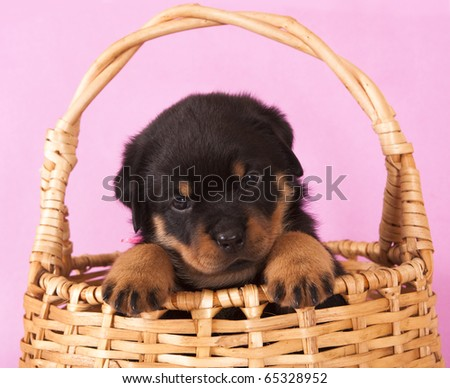 Puppy Rottweiler 1 Month Stock Photo Edit Now 65328952 Shutterstock