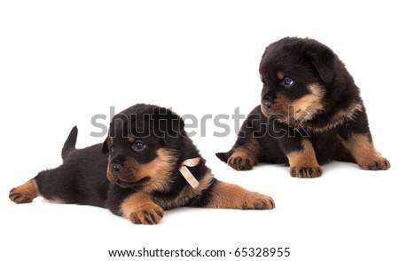 Puppy Rottweiler 1 Month Stock Photo Edit Now 65328955 Shutterstock