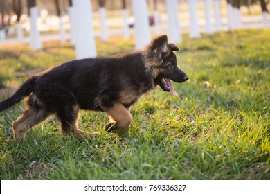 Fine German Shepherd Puppy Images Stock Photos Vectors Home Interior And Landscaping Mentranervesignezvosmurscom