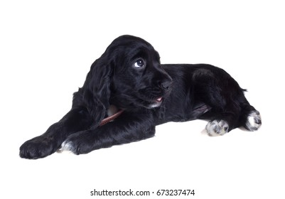 Puppy of Russian Spaniel. Isolated on white background