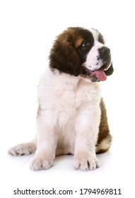 puppy saint bernard in front of white background
