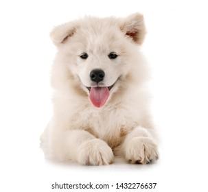 puppy samoyed dog in front of white background