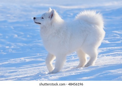 Puppy of Samoyed dog on blue background