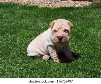 Puppy of sharpei one month old sitting on the grass