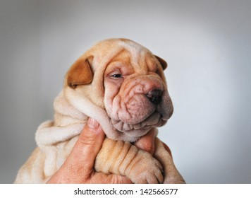 Puppy of sharpei one month old posing.