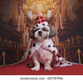 puppy shih tzu in a king costume