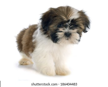 puppy shitzu in front of white background