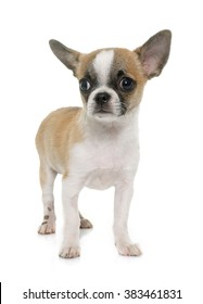puppy shorthair chihuahua in front of white background