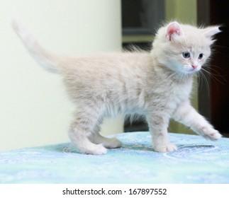 puppy of siberian cat, cream version