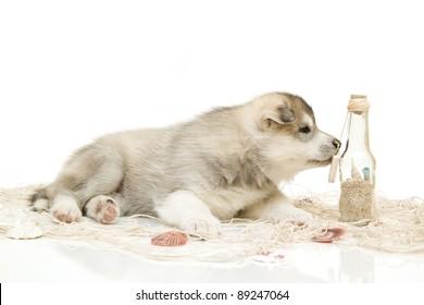 puppy of siberian husky