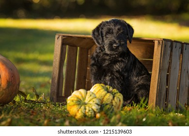 Puppy sitting in a wooden box with pumpkins