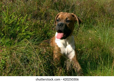 the puppy six months, the german boxer lies in a high grass in the wood, a portrait amusing muzzle with an open mouth and the flicked out tongue