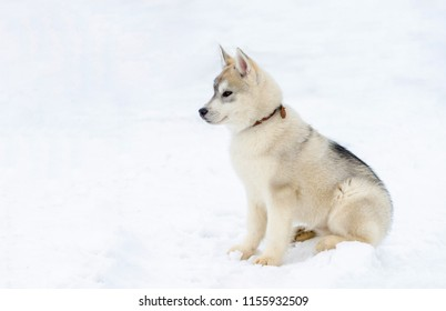 Puppy of sled dog Siberian Husky breed. Husky dog has beige and black fur color. Snowy white background.