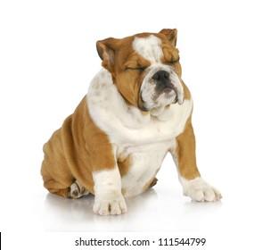 puppy sleeping sitting up - english bulldog puppy sleeping while sitting - 4 months old