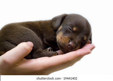 puppy sleeps on the girl's hand