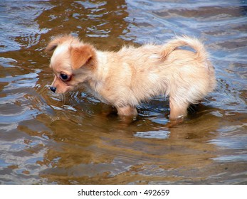 The puppy. The small dog is afraid some water.