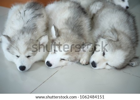 Puppy Spitz Japanese Dog Mixed Siberian Stock Photo Edit Now