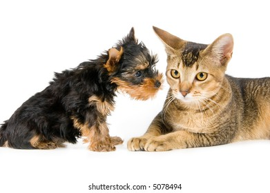 The puppy of the spitz-dog and kitten