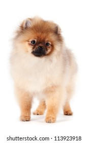 Puppy of a spitz-dog on a white background