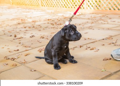 Puppy Staffordshire Bull Terrier sitting on a leash with a cute, reluctant, appealing look in his eyes, looking up the leash to the human on the end.