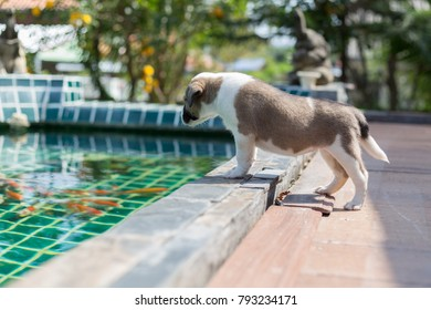 Puppy stand to look koi in the pool